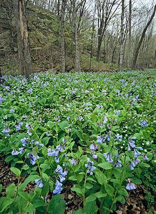 Virginia Bluebells and False Rue Anemone in Illinois Canyon at Starved Rock State Park in Utica, Illinois